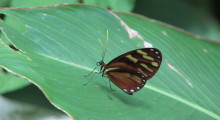 006-Costa-Rica-Schmetterling-1