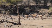 008-Namibia-Elenantilopen-1