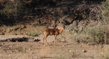 009-Namibia-Impala