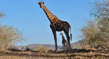 011-Namibia-Giraffen-1