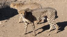 013-Namibia-Geparden