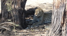 014-Namibia-Leopard-1