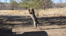 016-Namibia-Leopard-3