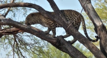 017-Namibia-Leopard-4