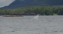 018-Kanada-Vancouver-Island-Walbeobachtung-1
