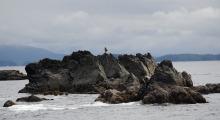 019-Kanada-Vancouver-Island-Weisskopfseeadler-1