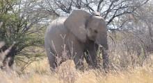 021-Namibia-Elefant-1