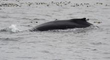 023-Kanada-Vancouver-Island-Walbeobachtung-3