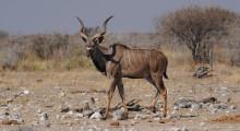 023-Namibia-Etoscha-Kudu