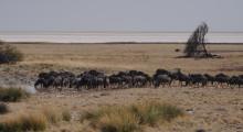026-Namibia-Etoscha-Nationalpark-Gnuherde