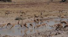 027-Namibia-Etoscha-Springboecke