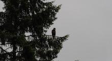 028-Kanada-Vancouver-Island-Port-Hardy-Weisskopfseeadler-2