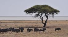 028-Namibia-Schirmakazie-Gnuherde