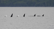 031-Kanada-Vancouver-Island-Orcas-1