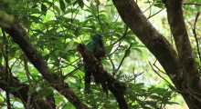 032-Costa-Rica-Vogel-Quetzal