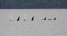 032-Kanada-Vancouver-Island-Orcas-2