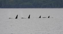 033-Kanada-Vancouver-Island-Orcas-3