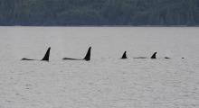 034-Kanada-Vanvouver-Island-Orcas-4