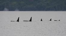 035-Kanada-Vancouver-Island-Orcas-5