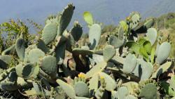 035-La Palma-Feigenkaktus