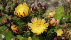 037-La Palma-Kaktusblüten-2