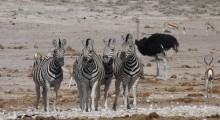 037-Namibia-Etoscha- Zebras