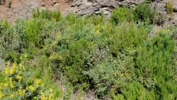 038-La Palma-Pflanzen-2