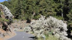 041-La Palma-weißer-Ginster-1