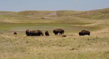 052-Kanada-Alberta-Waterton-Glacier-Park-Bisons