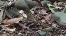 063-Costa-Rica-Jaco-Echse-1