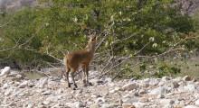 063-Namibia-Klippspringer