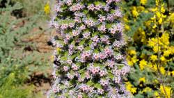 072-La Palma-Tajinastenblüte