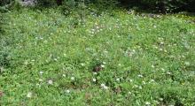 079-Kanada-Wildblumen