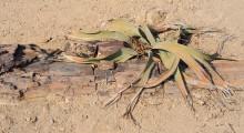 085-Namibia-Welwitschia-1