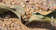 086-Namibia-Welwitschia-2