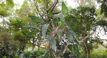 108-Singapur-Botanischer-Garten-2