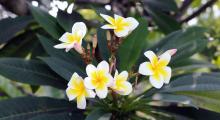 110-Singapur-Blumen-1