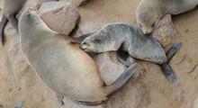 116-Namibia-Robbenkolonie-Cap-Cross-4
