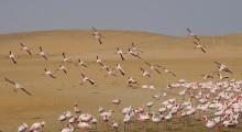 129-Namibia-Walvis-Bay-Flamingos-3